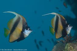 BD-120424-Marsa-Alam-6355-Heniochus-intermedius.-Steindachner.-1893-[Red-sea-bannerfish].jpg